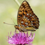 Malvern Hills Habitat High Brown Fritillary Butterflies