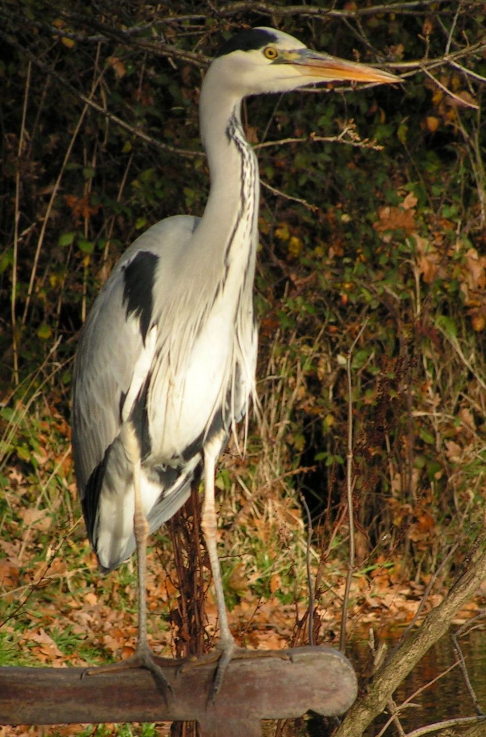 Heron at Hanley Swan pond