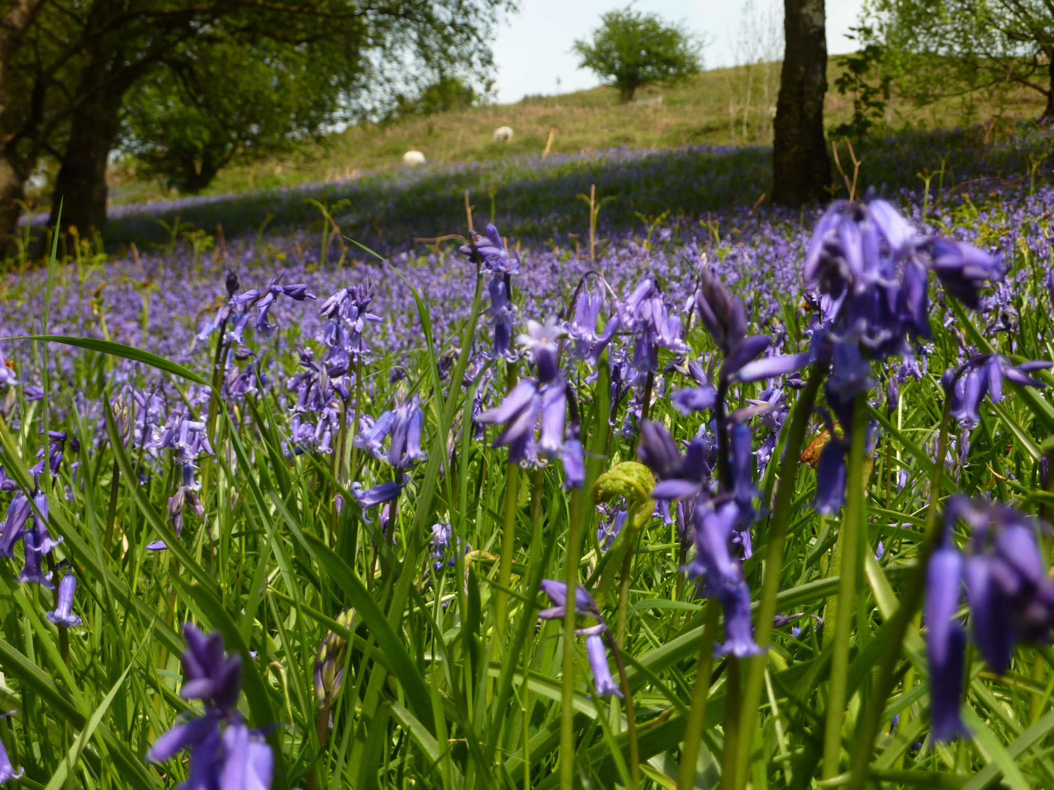 Blue bells on the malvern hills