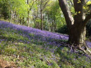 Malvern Walking Festival Bluebell in the woods