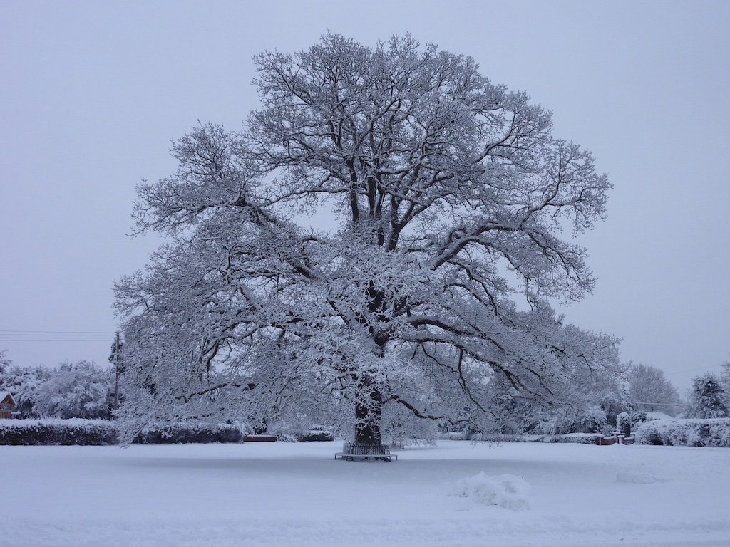 hanley swan oak tree in snow